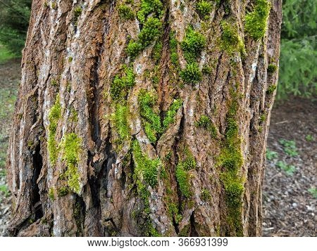 Tree Bark Covered With Moss. The Topography Of The Crust Resembles A View Of High Wooded Mountains F