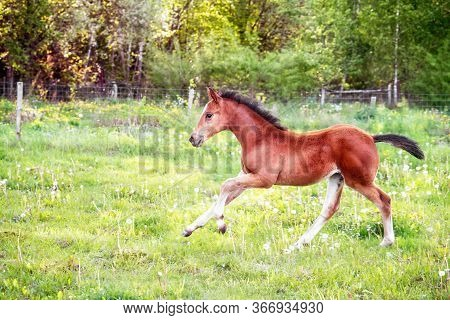 Landscape With Beautiful Running Foal In A Spring Meadow.