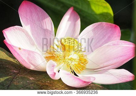 Water Lily Plantae, Sacred Lotus, Bean Of India, Nelumbo, Nelumbonaceae Name Flower In Pond Large Fl