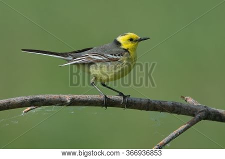 Citrine Wagtail Motacilla Citreola Stands On A Branch On A Green Background