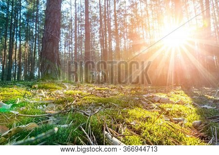 Beautiful Scenic Coniferous Forest Woods Floor View Early Morning Sunrise With Rising Sun Shininig A