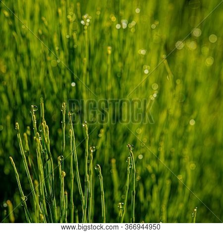 Drops Of Morning Dew On The Stems Of A Horsetail Plant In A Meadow. Spring Season. Web Banner Ukrain