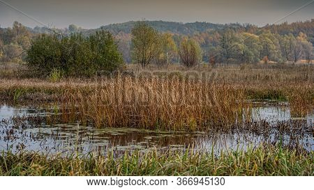 Thickets Of Reeds In The Water Of The Pond And Plants In The Marshland, Landscape. Fall Season. Web