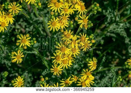 Close Up Beautiful Bright Yellow Senecio Vernalis Or Eastern Groundsel Flowers, Growing On The Meado