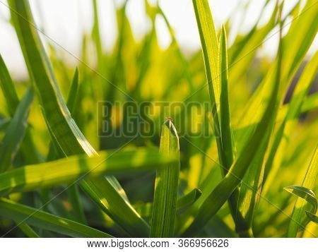 Leaves And Stems Of Grass In The Sun At Dawn Or Sunset. Green And Yellow Summer Background In Warm C
