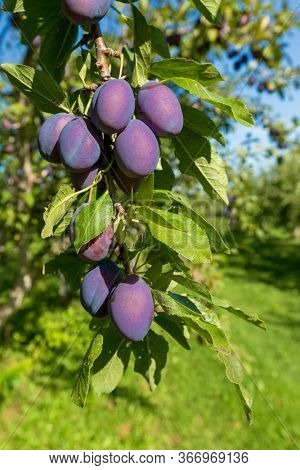 Ripe plums hanging on tree in a farm orchard.