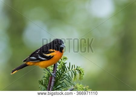 Baltimore Oriole, Icterus Galbula, Perched On Branch Soft Green Background