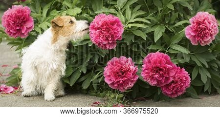 Cute Small Happy Jack Russell Terrier Pet Dog Puppy Smelling Peony Flower In The Garden, Web Banner