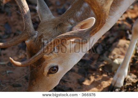 Young Deer Feeding