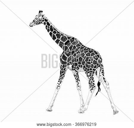 Cute Giraffe On A White Background. African Safari Animal. Doodle Set. Black And White. Vector Art I