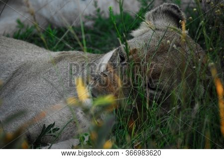 A Wonderful Extreme Close Up View Of The Face Of A Wild Lioness Snoozing In Tall Grass, With Her Sis