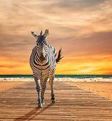 Zebra Walking On Wooden Plank At Beach poster