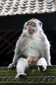 Monkey in relax at sacred monkey forest Ubud Bali Indonesia poster