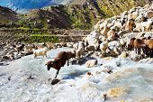 Sheep flock in the mountainous area poster