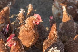 Group Of Brown Chickens Live Outdoors At Bio Poultry Farm. Rural Agriculture Scene With Free Happy H