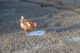 Brown Chicken Live Outdoors At Bio Poultry Farm Dirt Mud. Rural Agriculture Scene With Free Happy He