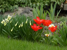 Red Tulips And Daffodils On The Flower Bed
