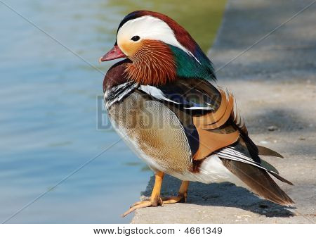 Colourful Lovely Duck