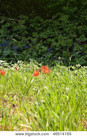 Poppy flowers by the pond