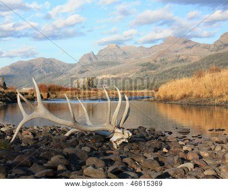 Elk Skull - Yellowstone NP