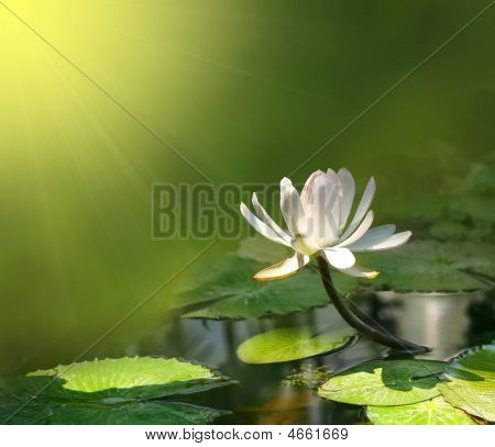 Photo Of White Lily On A Green Background