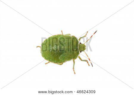 Green Bug Isolated