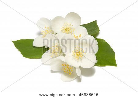 White jasmine flower on a white background
