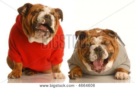 two english bulldog laughing hysterically isolated on a white background poster