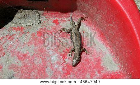 No Tail Lizard