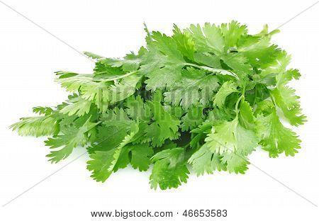 Fresh Leaves Of Cilantro