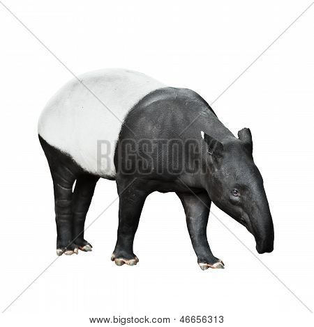 Malayan Tapir Isolated On White Background