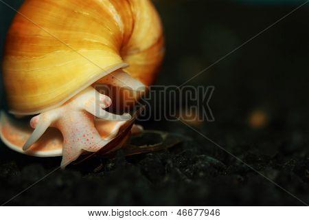 Gelbe Apple Snail