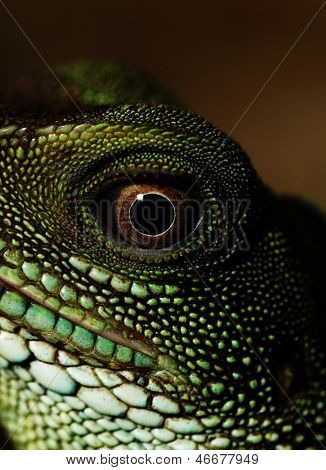 Agama (eye Macro)
