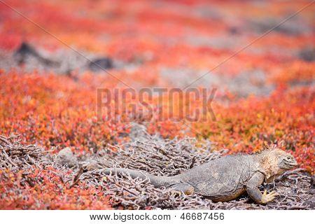 Land iguana endemic to the Galapagos islands, Ecuador hiding in succulent sesuvian grass poster