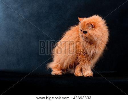 Adult house Persian cat of a red color on a black background with illumination by kontrovy light poster