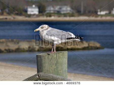 Seagull Close Up Marion Harbor Massachusetts Winter Time