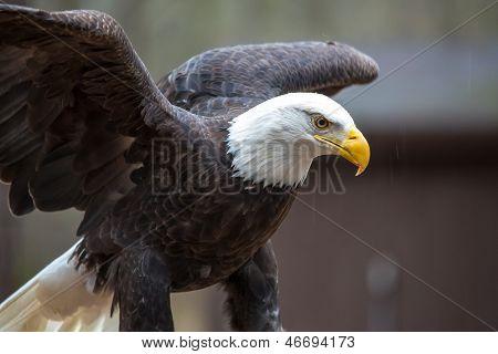 Majestic Bald Eagle