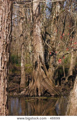 Large Cypress