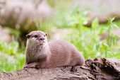 A beautiful Otter resting on a felled log near a river in the UK. poster