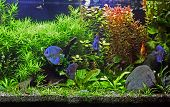 A beautiful tropical planted freshwater aquarium with Discus Fish. poster