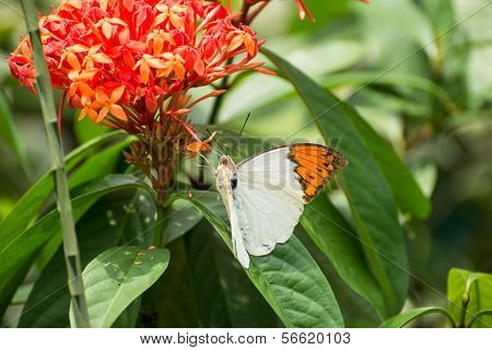 The Great Orange Tip Butterfly On Ixora Flowers