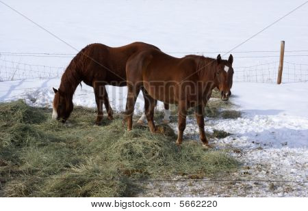 Pair Of Brown Horses Grazing In Winter Pasture