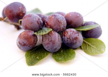 Wild Plum With Water-drops