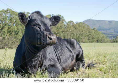 Beautiful Black Angus