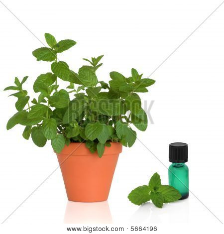 Mint Herb and Essence