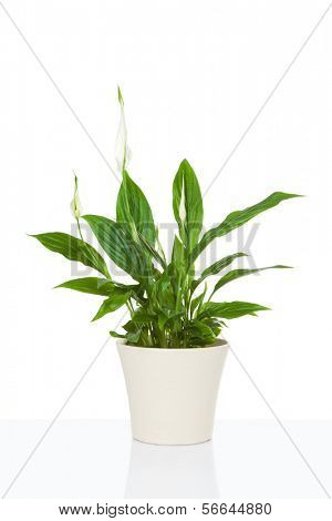 Spathiphyllum flower plant isolated on white