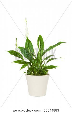 Spathiphyllum flower plant isolated on white. The spathiphyllum is a useful plant that detoxifies the environment from dangerous chemicals