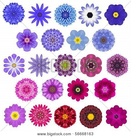 Big Selection of Various Colorful Kaleidoscopic Mandala Flowers Isolated on White. Big Collection of flowers in Concentric shape pattern. Rose Daisy Primrose Sunflower Carnation Marigold Gerber Dahlia Zinnia Flowers in Red Orange Purple colors. poster