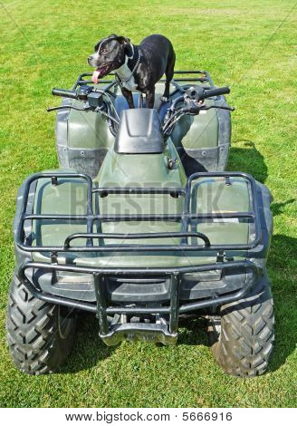 Image of a Staffordshire bull terrier atop an all terrain vehicle poster