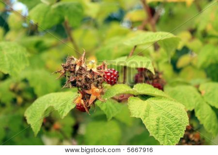 Japanese Wineberries